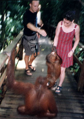 Photograph taken at Sepilok Orangutan Rehabilitation Centre, Sabah, Borneo, November 1996.  In the story 'Kingdom of Monkeys', the narrator and her boyfriend, Hal, are frightened that they will be attacked by a large orangutan, but never are.  The couple in the picture really were attacked by an orangutan, but it was very small.